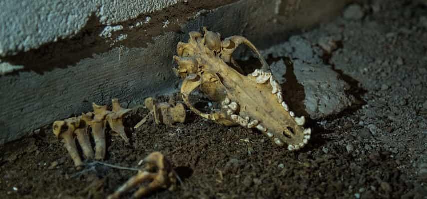 Un animal muerto para retirar