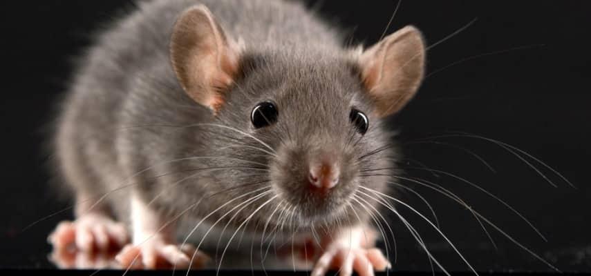 Eliminar ratas en casa