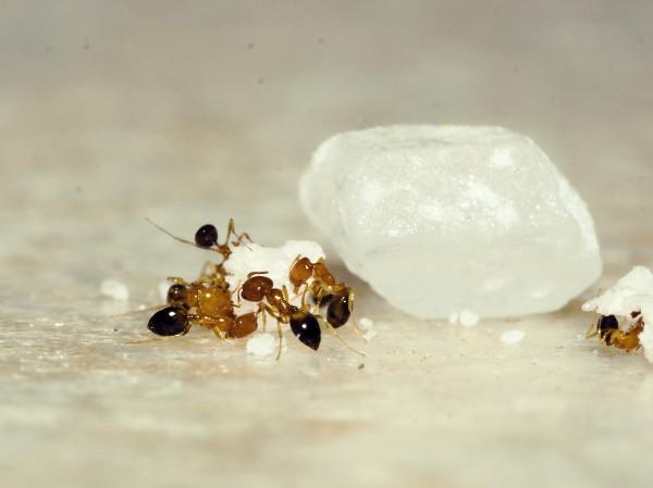 Remedio para eliminar hormigas