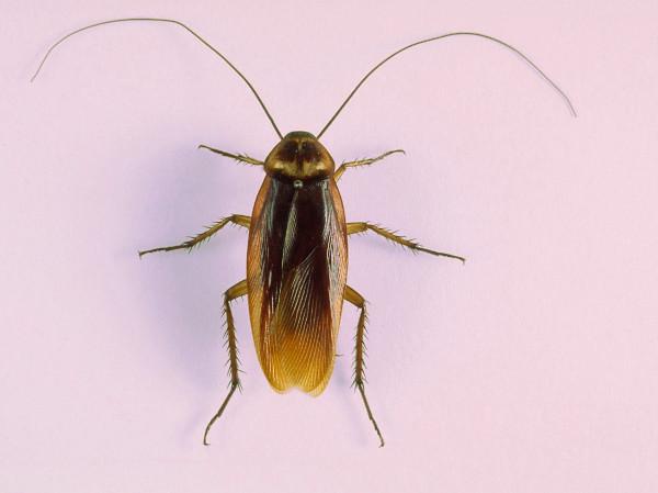 Cucaracha marrón en el hogar
