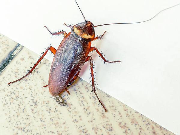 Cucaracha en el suelo de casa