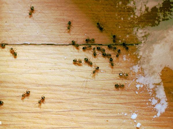 Uso de ácido bórico para eliminar hormigas