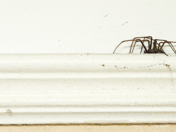 Araña en el techo de casa