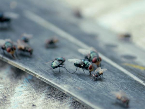 Infestación de moscas en casa