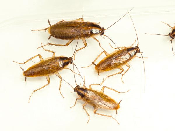 Cucarachas alemanas vivas