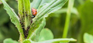 Eliminando plaga de pulgón en una planta con mariquitas