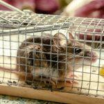 Plaga de ratas en un negocio de hostelería