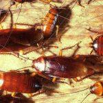 Larvas de cucaracha