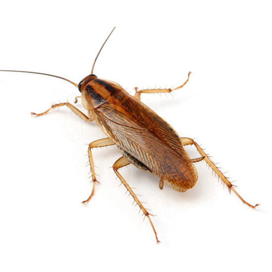 Cucaracha alemana o blattella germánica