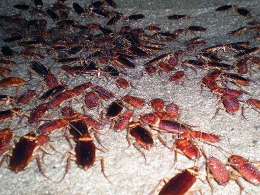 Plaga de cucarachas americanas