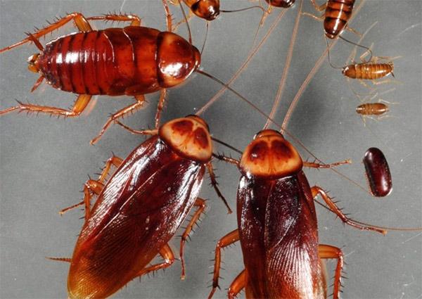 Control químico de cucarachas americanas