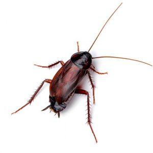 Cucaracha oriental o Blatta Orientalis