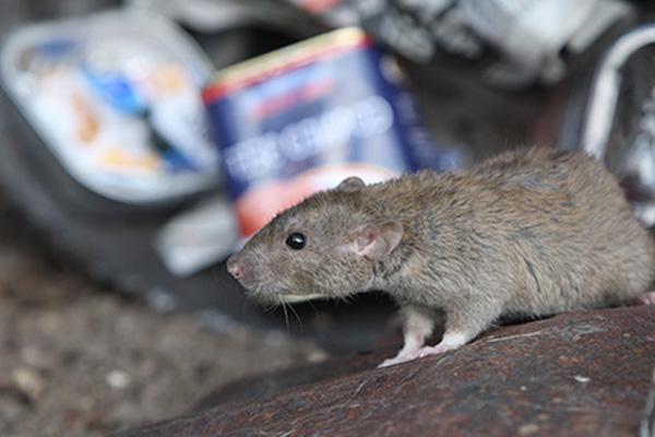 Plagas urbanas de roedores