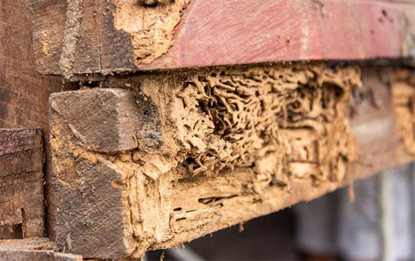 Daños de termitas en la madera
