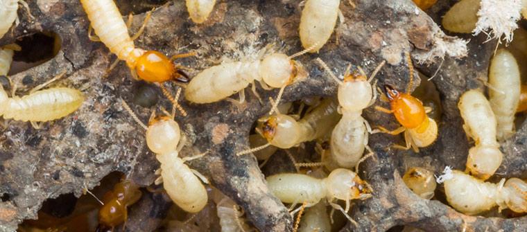 Cómo eliminar termitas en casa