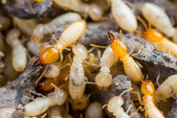 Cómo son las termitas