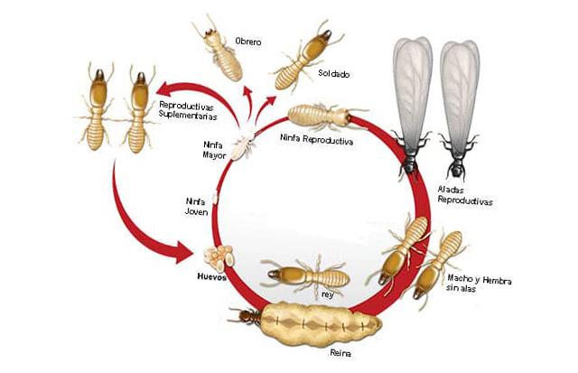 Etapas de desarrollo o clclo de vida de las termitas