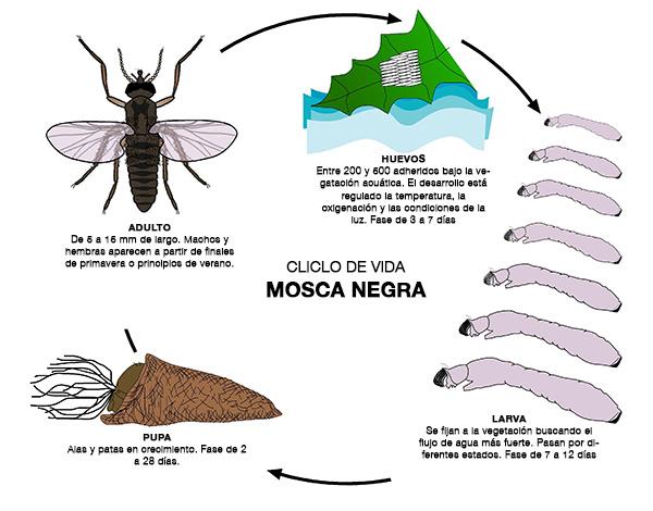 Ciclo de vida de la mosca negra
